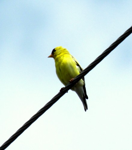 American Goldfinch Ten Mile Point June 6-18.jpg