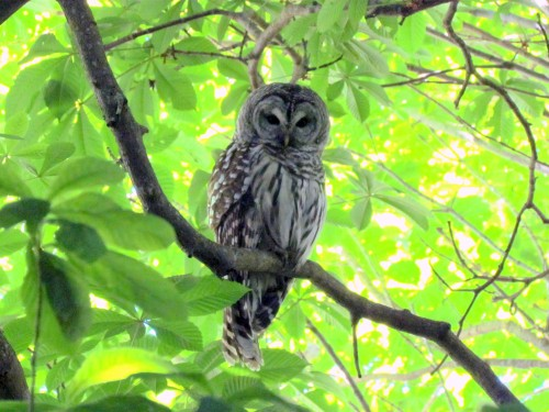 Male Barred Owl Beacon Hill June 10-2018.jpg