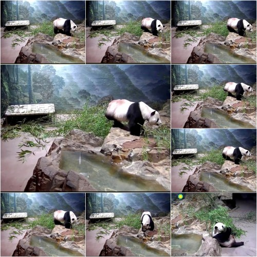 6-19-18 tian climbing, smelling-eating boo, look in pond-mirror.jpg