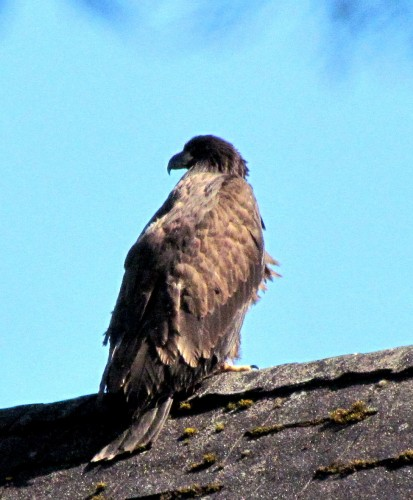 Oak Bay Fire Hall eaglet perched on house June 21-2017.jpg