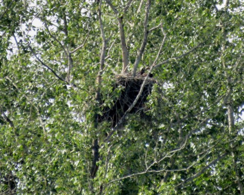 Wallace Dr. Eaglets.JPG