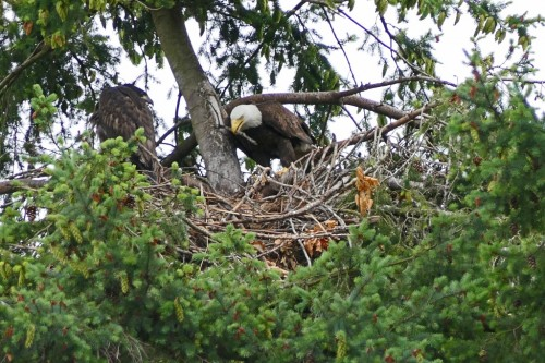 100 July 4, Joey watches Mom add twigs to the nest (1024x683).jpg