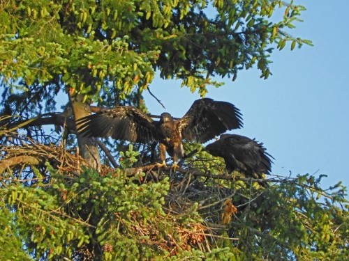 104 July 4, both eaglets have branched out (1024x768).jpg