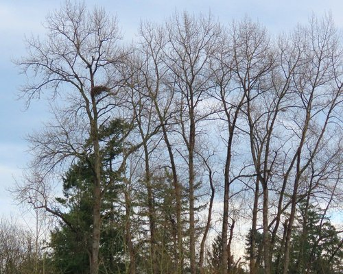 Reay Creek Eagle Nest from across the Pat Bay Hwy. 10 Feb. 2016.JPG