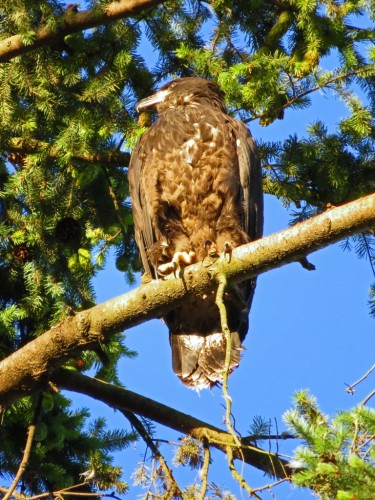 199 Jul 15, 630am Searching for Darla again,  Meanwhile Joeys high up near the nest tree.jpg