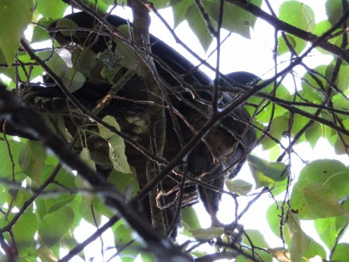 201 July 15 7am, Finally found Darla safely hiding in a ravine tree. We heard her rustle last night but.jpg