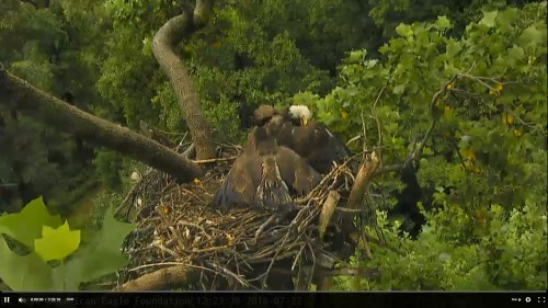 DC Eagle Cam Meal Time 29 July Screenshot (167).jpg