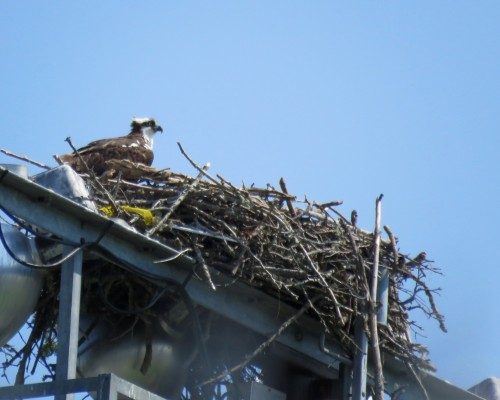 Uvic Osprey 29 July.JPG