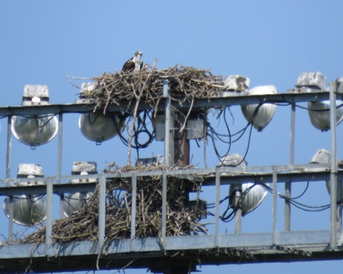 Uvic Osprey & chick 29 July.JPG