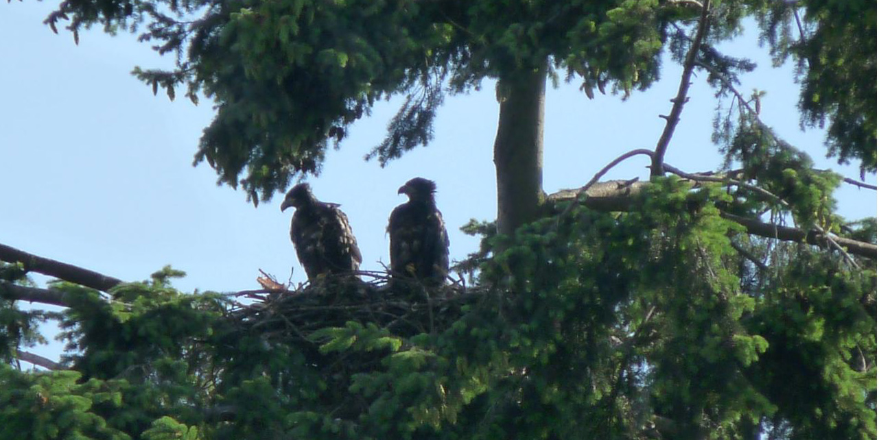 Lafarge Eaglets at the Pandora nest_edited.jpg