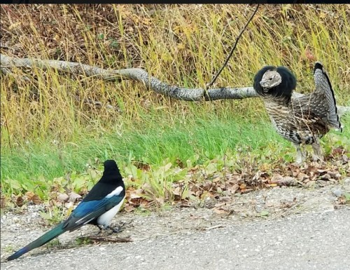 magpie and grouse having a disagreement 1 oct 6 2017.jpg