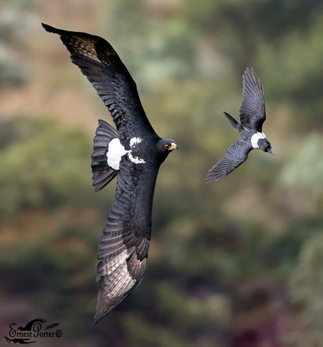Black Eagle   with Pied Crow Ernest Porter.jpg