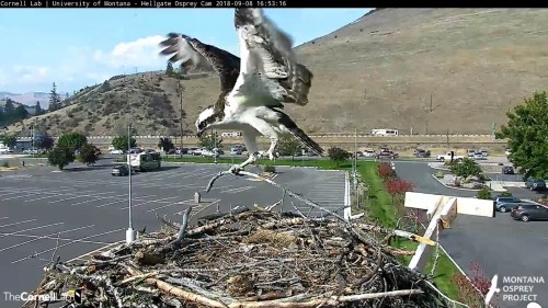 hellgate osprey louis back to nest another stick 4 53 sept 8 .jpg