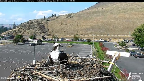 hellgate osprey louis looking around 4 55 sept 8 .jpg