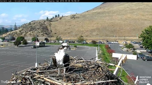 hellgate osprey louis looking at something 4 56 sept 8 .jpg