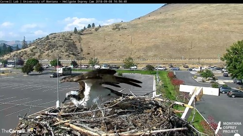 hellgate osprey louis leaves the nest 4 56 sept 8 .jpg