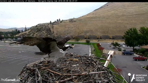 hellgate osprey iris to the nest 8 37 sept 9 .jpg