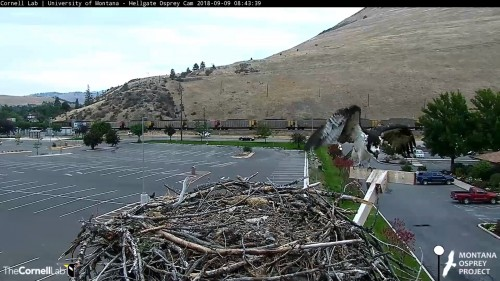 hellgate osprey iris flies to fb 8 43 sept 9 .jpg