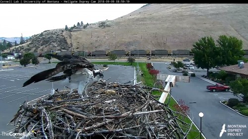 hellgate osprey jumps back to nest chirping 8 59 sept 9 .jpg