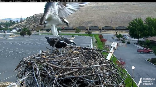 hellgate osprey louis to nest with a stick 9 pm sept 9 .jpg