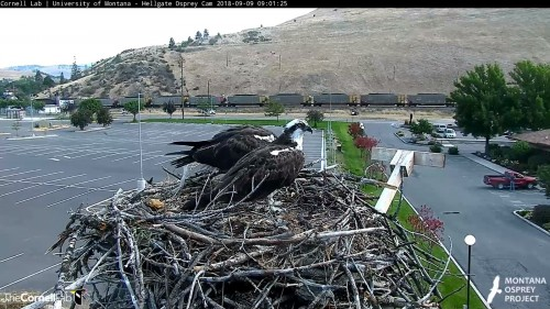 hellgate osprey iris is chriping at louis he looking around 9 01 sept 9 .jpg