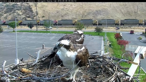 hellgate osprey iris and louis 2 9 04 sept 9 .jpg