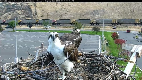 hellgate osprey lous scratching with his foot 9 04 sept 9 .jpg