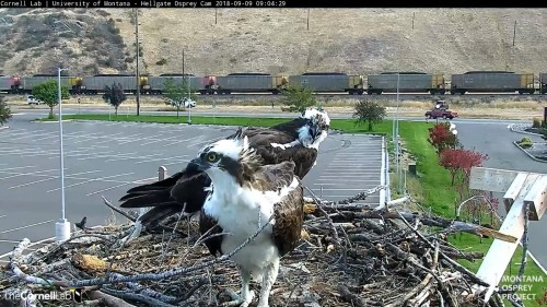 hellgate osprey iris looking right at louis chirping at him 9 04 sept 9 .jpg