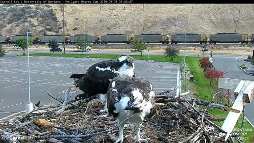 hellgate osprey louis keeps playing with stick 9 04 sept 9 .jpg