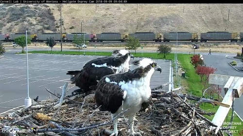 hellgate osprey both looking at something 9 04 sept 9 .jpg