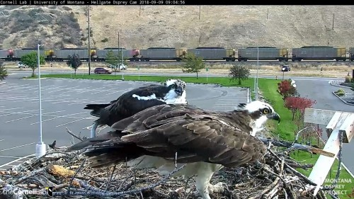 hellgate osprey louis leaving nest 9 04 sept 9 .jpg