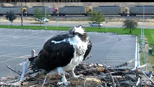 hellgate osprey beautiful iris 9 05 sept 9 .jpg