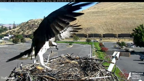 hellgate osprey iris to nest again 10 27 sept 9 .jpg