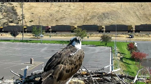 hellgate osprey iris on nest 10 31 sept 9 .jpg