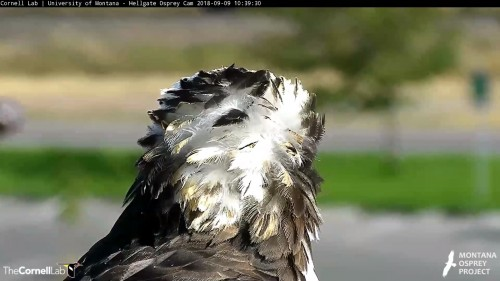 hellgate osprey iris feather blowing in breeze 10 39 sept 9 .jpg