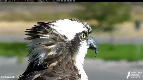 hellgate osprey iris has star in eye 10 39 sept 9 .jpg