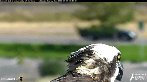 hellgate osprey iris leaving nest in this scap 10 40 am sept 9 .jpg