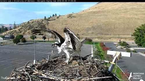 hellgate osprey iris to the nest 5 34 sept 9 .jpg