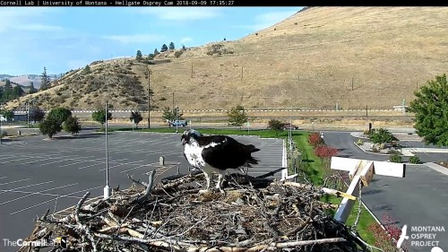 hellgate osprey iris back to nest 5 35 sept 9 .jpg