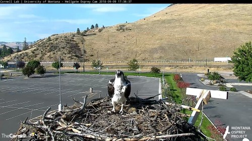 hellgate osprey iris on nest 5 36 sept 9 .jpg