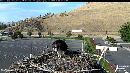 hellgate osprey iris looking down 5 37 sept 9 .jpg
