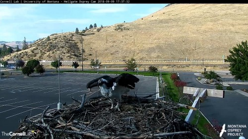 hellgate osprey iris leaving the nest 5 37 sept 9 .jpg