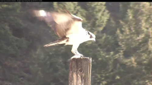 hellgate osprey louis to the owl pole with a fish 5 49 sept 12 .jpg
