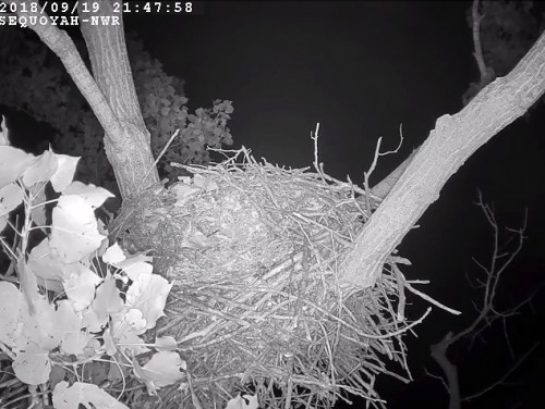 Sequoyah eagles new cam has gone LIVE 9 19 18.jpg