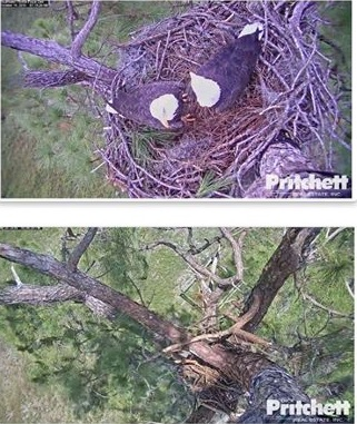 SWF   nest comparison   5-20-16.jpg