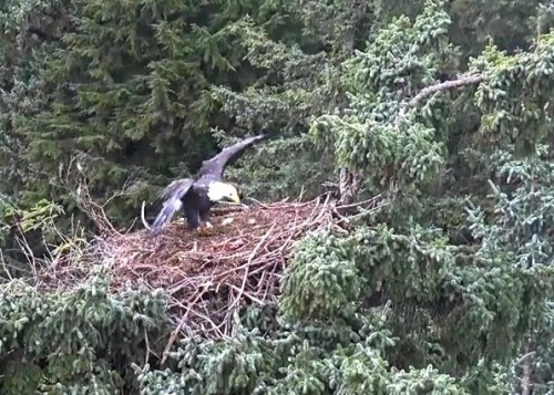 4 Oct. Mom lands on nest; jumps to branch on right; preens; flies off_2018-10-04 14-24-35.jpg
