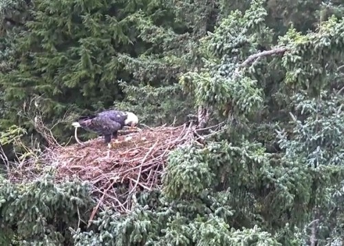 4 Oct. Mom lands on nest; jumps to branch on right; preens; flies off_2018-10-04 14-25-21.jpg