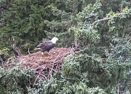 4 Oct. Mom lands on nest; jumps to branch on right; preens; flies off_2018-10-04 14-30-00.jpg