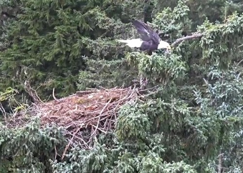 4 Oct. Mom lands on nest; jumps to branch on right; preens; flies off_2018-10-04 14-30-49.jpg