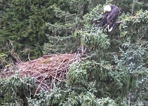 4 Oct. Mom lands on nest; jumps to branch on right; preens; flies off_2018-10-04 14-36-42.jpg
